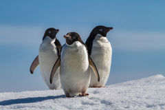 Three penguins on snow, Antarctica Royalty Free Stock Image