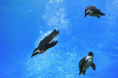 Three penguins swimming under water Stock Photo