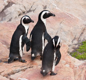 Three penguins walking over rocks Stock Image