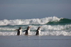 Three Penguins Walking into the Water Royalty Free Stock Image
