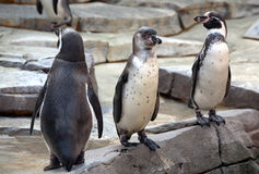 Three penguins in the zoo Royalty Free Stock Photography