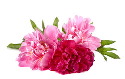 Three peonies Stock Photos
