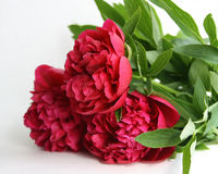 Three peonies Royalty Free Stock Photography
