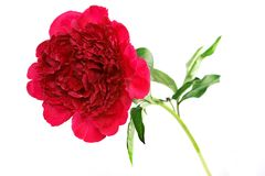 Three peonies flower isolated on white Royalty Free Stock Image