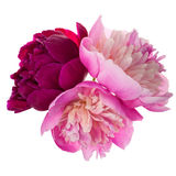 Three peonies isolated Royalty Free Stock Images