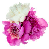 Three peonies isolated Stock Images