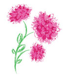 Three peonies on white background. Royalty Free Stock Photography