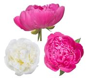 Three peony blooms isolated on white Royalty Free Stock Images