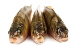 Three perch fish Royalty Free Stock Images