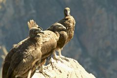 Three perched Andean condors Stock Images