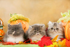 Three persian cats in autumn decoration Royalty Free Stock Image