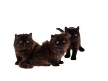 Three Persian kittens isolated on white. Playful beautiful cute black Persian kittens isolated on white Stock Photography