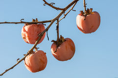 Three persimmon fruit still on the branch Stock Images