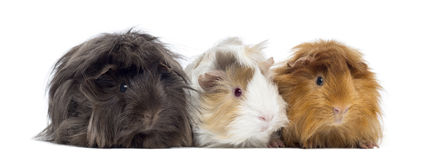 Three Peruvian Guinea Pig in a row, isolated Royalty Free Stock Photography