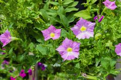 Three Petunia Flowers. Royalty Free Stock Image