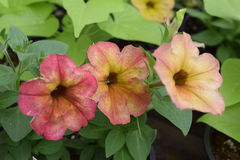 Three petunia flowers yellow fade to red. Three petunia flowers fading yellow to red stock photo