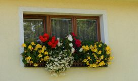 Three-piece wooden euro-window / plastic window and boxes with yellow and red begonia. Cases with yellow and red begonia on window in summer stock images