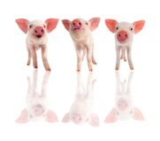 Three pig. Three cheerful, pig on a white background Stock Photo
