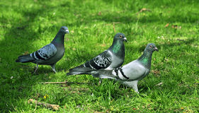 Three pigeon Royalty Free Stock Photos