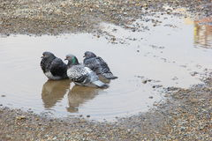 Three pigeon in a puddle of water Royalty Free Stock Photo