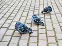 Three pigeons Stock Photos