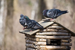 Three pigeons Royalty Free Stock Image