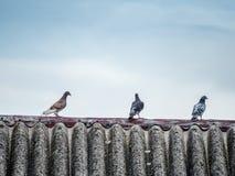 Three pigeons Stock Photography