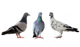 Three pigeons Royalty Free Stock Photos