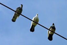 Three Pigeons Perched on a Cable. Three black and white pigeons perched on a cable Stock Photography