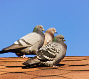 Three pigeons on the roof Stock Images