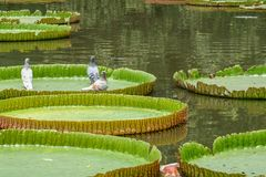Three pigeons siiting on a giant lotus leaf. Three pigeons siiting on a giant leaf of Victoria amazonica lotus in a shallow pond stock photos