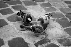 Three pigeons sit on the pavement and eat bread. Three pigeons sit on the pavement Stock Photography