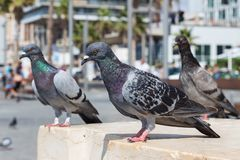 Three pigeons stand and look at the camera. Macro birds royalty free stock photos