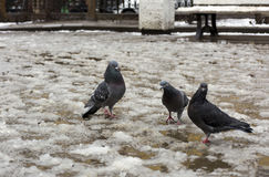 Three pigeons standing on melting snow, spring Stock Photography
