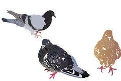 Three pigeons on a white background Royalty Free Stock Photos