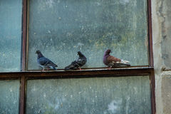 Three pigeons on the window. Three pigeons on a dirty window outside an industrial building Stock Images