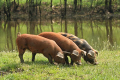 Three piglets Royalty Free Stock Images