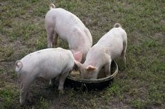 Three  Piglets Royalty Free Stock Photo