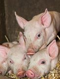 Three Piglets. Portrait of a three small 1 week old piglets in straw on a biological farm Stock Photos
