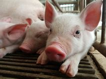 Three piglets, so cute. Farm swine Livestock Royalty Free Stock Photography