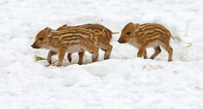 Three piglets. European wild boar piglet with stripes, characteristic feature of piglets. Three piglets Stock Photo