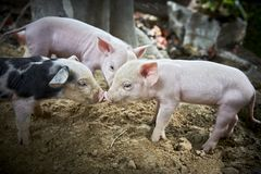Three piglets playing at a farmer`s place royalty free stock photo