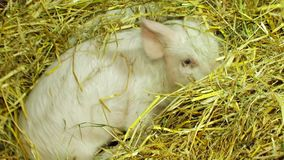 Three Piglets Playing In Straw stock video footage