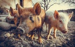 Three pigs in the barnyard Stock Photos