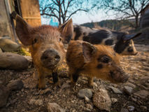 Three pigs in the barnyard Royalty Free Stock Images