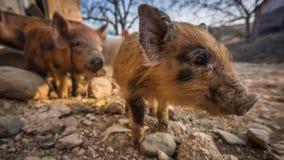 Three pigs in the barnyard Royalty Free Stock Photos