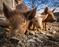 Three pigs in the barnyard Stock Photography