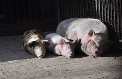 Three Pigs Chilling stock photography