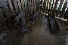 Three pigs in dirty dirt Stock Photo
