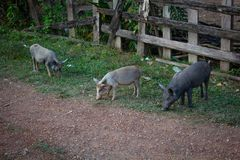 Three pigs are eating food from the ground royalty free stock image